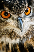 Great Horned Owls with fierce orange eyes