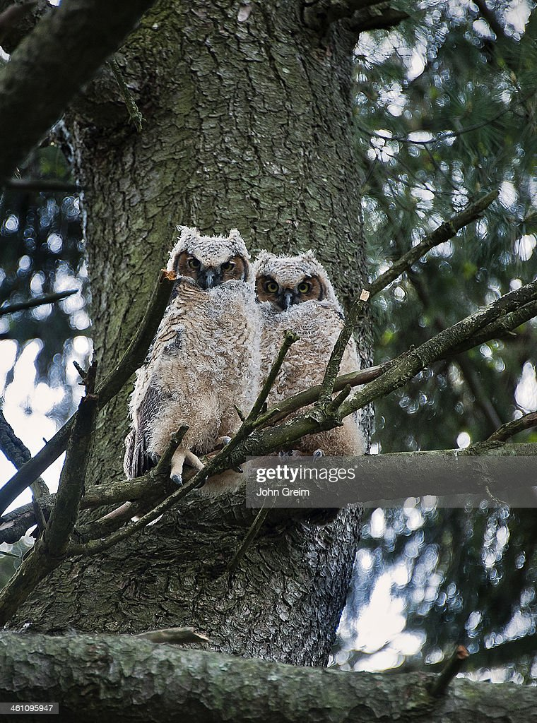 Great Horned Owls young at approximately six weeks