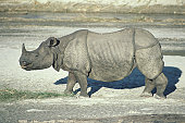 Great Indian one-horned rhino, Asia
