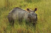 Great Indian Rhinoceros in Nepal
