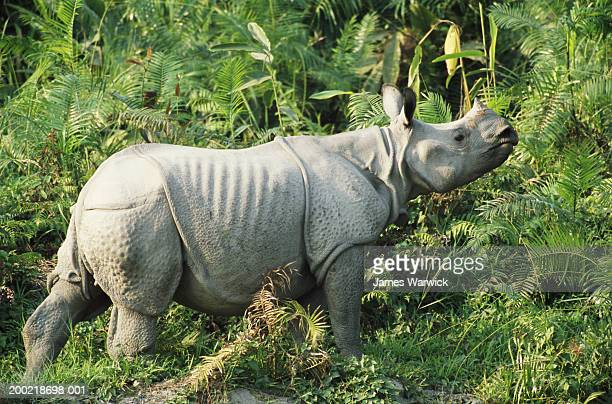 Great Indian rhinoceros walking into jungle, side view