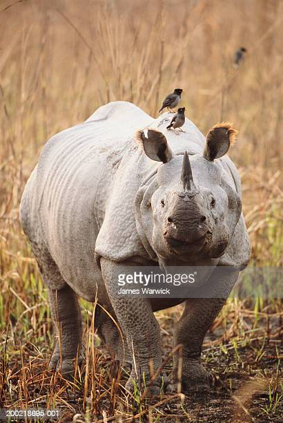 Great Indian rhinoceros with birds resting on back, close-up
