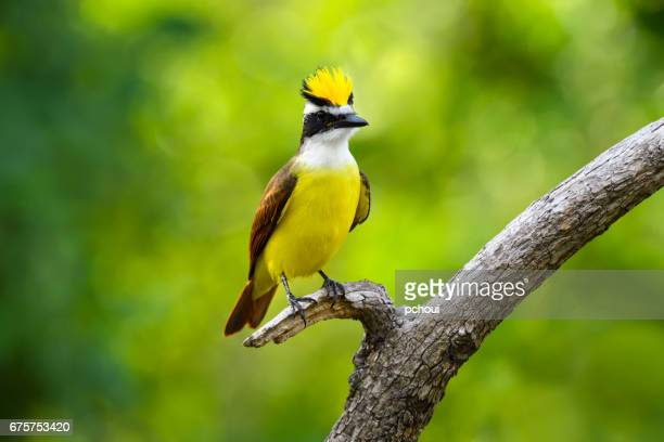 Great Kiskadee, Pitangus sulphuratus, showing up yellow crown, courtship