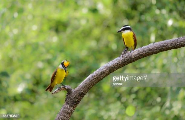 Great Kiskadee, Pitangus sulphuratus, showing up yellow crown to his female, courtship behavior