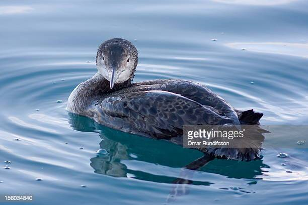 Great Northern Diver - Common Loon - Gavia immer -