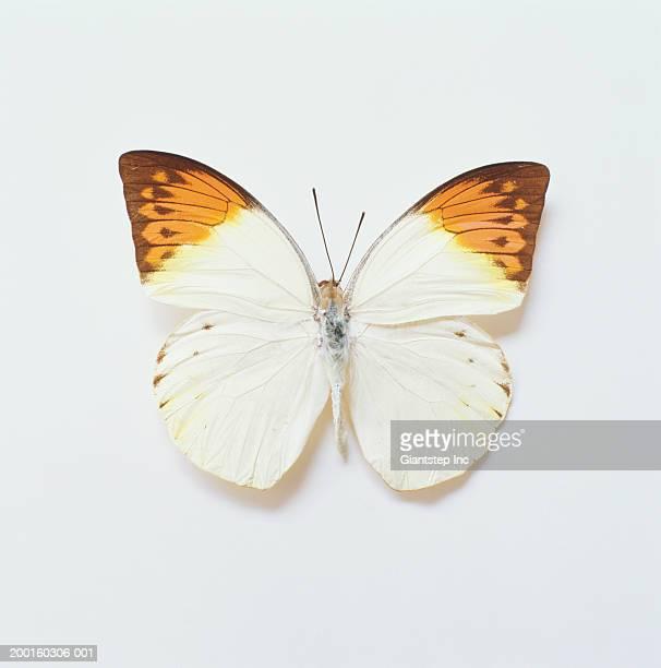 Great Orange Tip Butterfly (Hebomoia glaucippe), overhead view