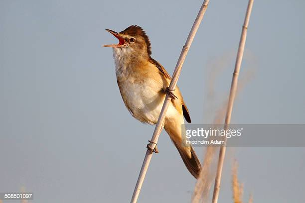 Great reed warbler -Acrocephalus arundinaceus-, calling, male perched on reed, Lake Neusiedl, Burgenland, Austria, Europe