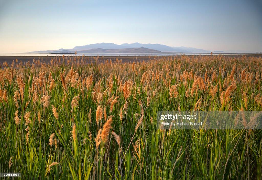 Great Salt Lake Beach Grasses