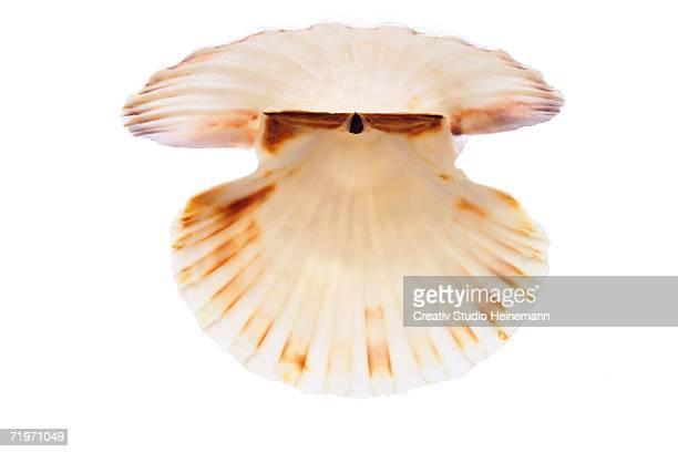 Great scallop (Pecten jacobaeus), close-up