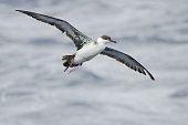 A Great Shearwater, Ardenna gravis with spread wings