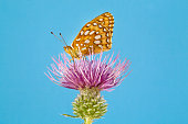 Great Spangled Fritillary 1
