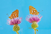 Great Spangled Fritillary 5