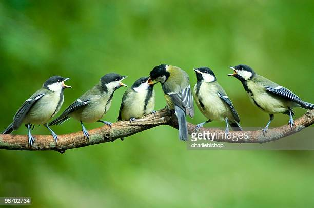 Great Tit family being fed by mother