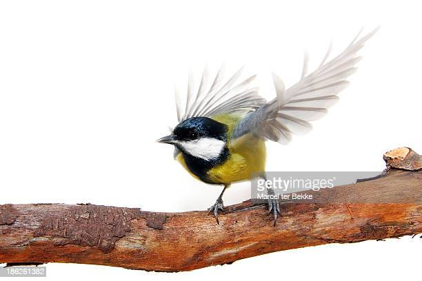 Great tit flying up from a branch