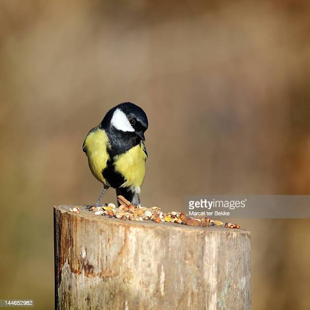 Great tit looking at birdseed