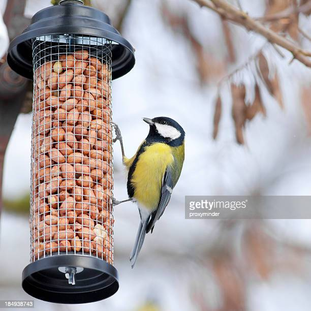 Great Tit on a bird table