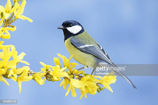 Great tit on forsythia twig
