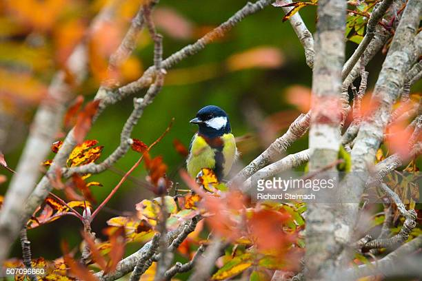 Great tit or blue tit, surrounded by autumn leaves in Scotland, near Applecross
