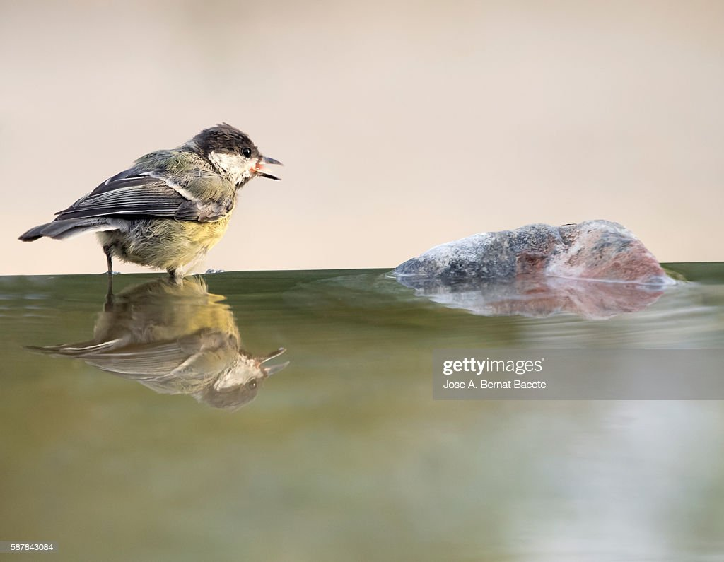 Great Tit (Parus major), Spain.  Species (Paridae) .  I drinking on a rock with his body reflected in water