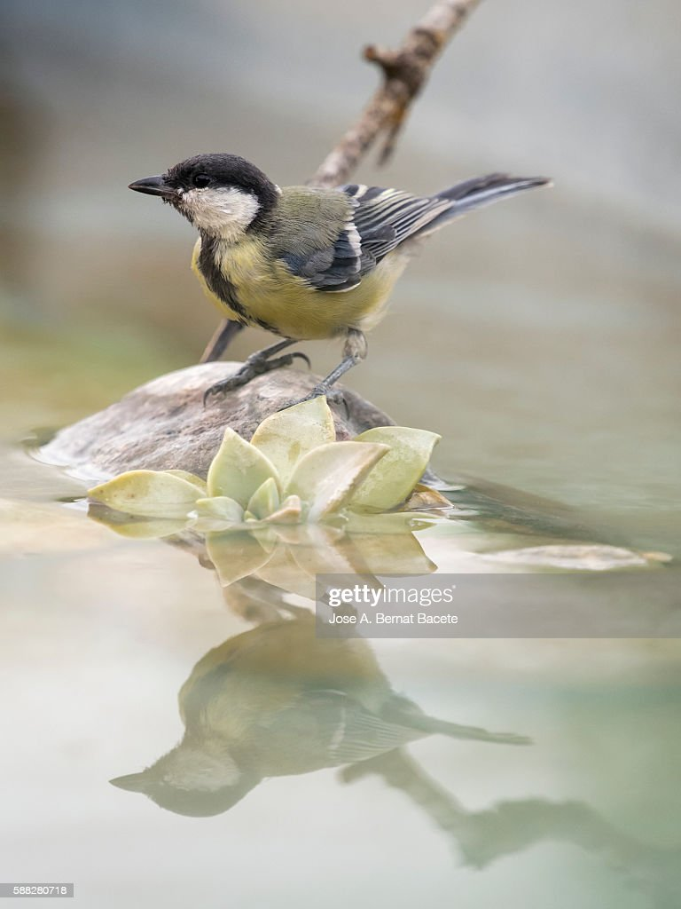 Great Tit (Parus major) , Species (Paridae) .  I drinking on a rock with his body reflected in water