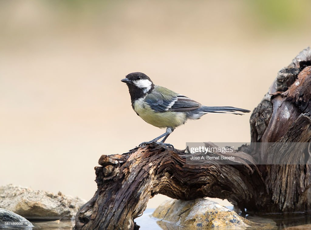 Great Tit (Parus major) , Species (Paridae) . On a trunk on the water, Spain