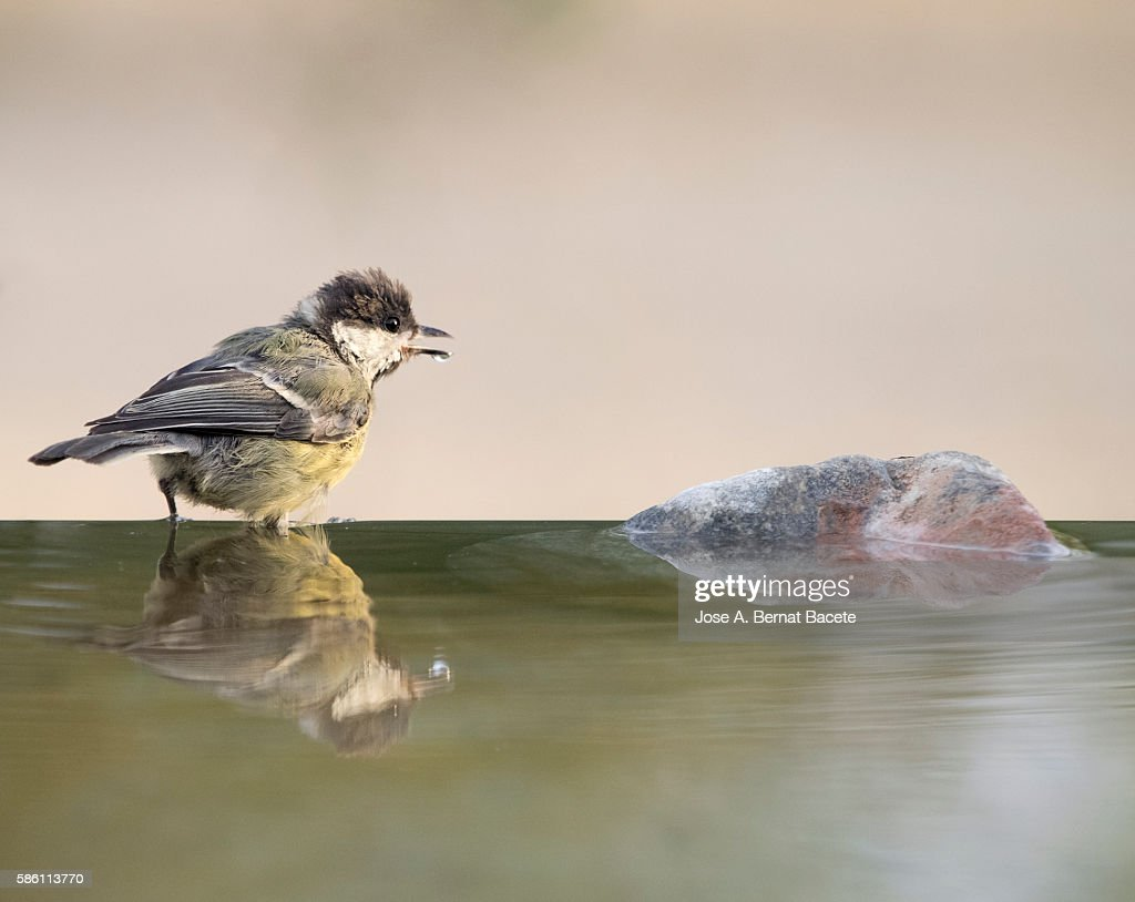 Great Tit (Parus major) , Species (Paridae), Spain.  I drinking on a rock with his body reflected in water
