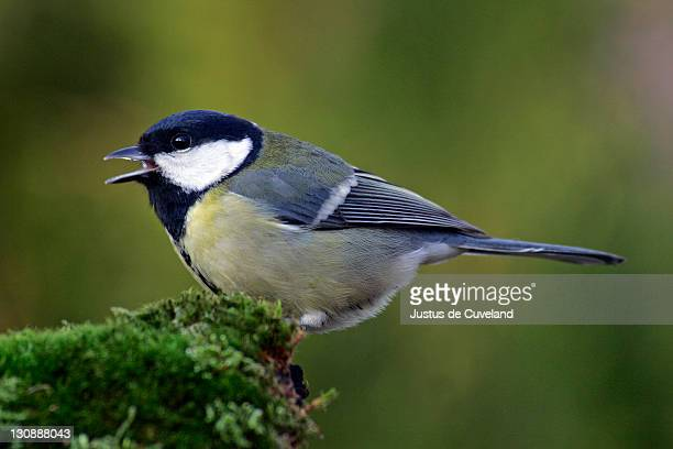 Great tit - tits (Parus major)