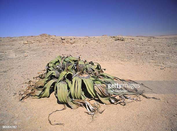 great welwitschia welwitschia mirabilis namib-naukluft park namibia