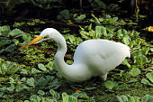 Great white egret with its neck outstretched, fishing in a lettuce swamp in the everglades of Florida. Scientific name is Ardea alba.
