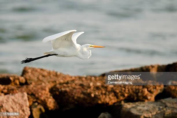 Great White Egret (Ardea alba) Flying Over Rocky Coast Line