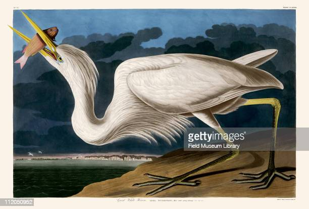 Great White Heron Plate 281 from John James Audubon's Birds of America late 1830s