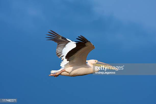 Great white pelican flying