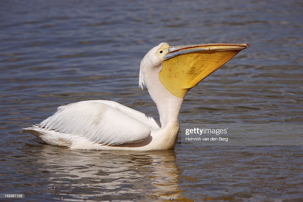 Great White Pelican, Namaqualand, South Africa : Stock Photo