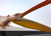 A Great White Pelican stis on the roof of a boat and opens his mouth for food in Namibia