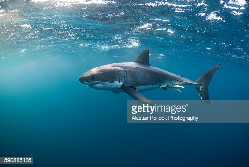 Great White Shark at the Surface