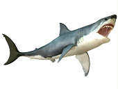 The Great White Shark is an apex-predator and is found throughout the world's seas.