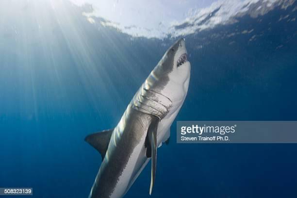 Great White Shark Attack Run