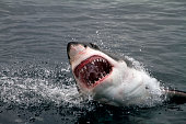 Great White Shark showing his big jaws when jumping out of the water for a deadly attack