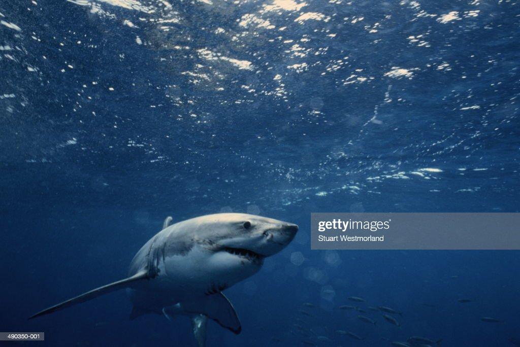 Great white shark (Carcharodon carcharias), Australia : Stock Photo