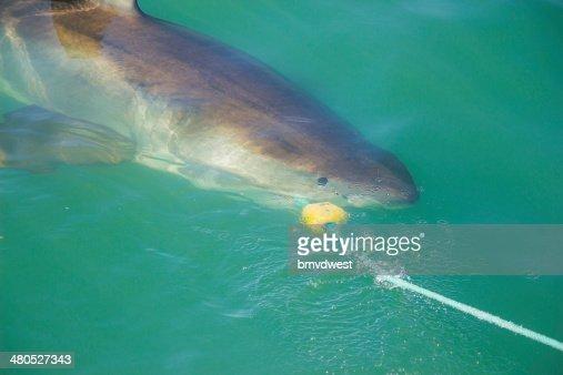 Great White Shark beißen Decoy und Köder : Stock-Foto