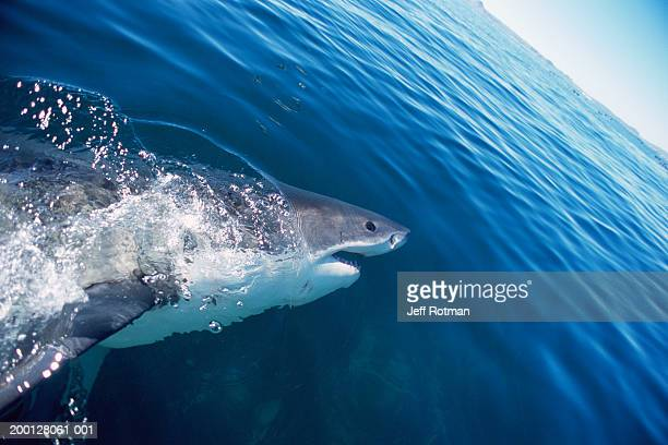 Great white shark  (Carcharodon carcharias) breaking surface of water