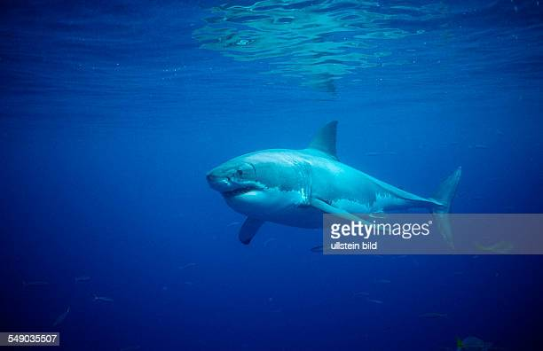 Great White Shark Carcharodon carcharias Australia Dangerous Reef Neptune Island