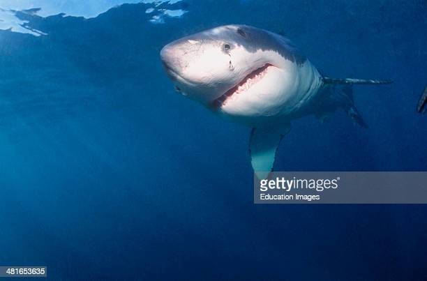 Great White Shark Carcharodon carcharias near the water surface six nautical miles from the coast of Gansbaai quite close to Dyer Island and Geyser...