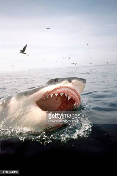 Great White Shark Carcharodon Carcharias on surface of the water with mouth wide open surrounded by sea birds