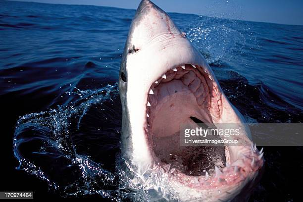 Great White Shark Carcharodon Carcharias on surface of the water with mouth wide open