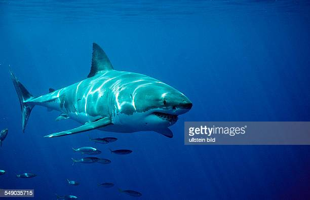 Great White Shark Carcharodon carcharias South Africa Dyer Island Gansbaai Atlantic Ocean