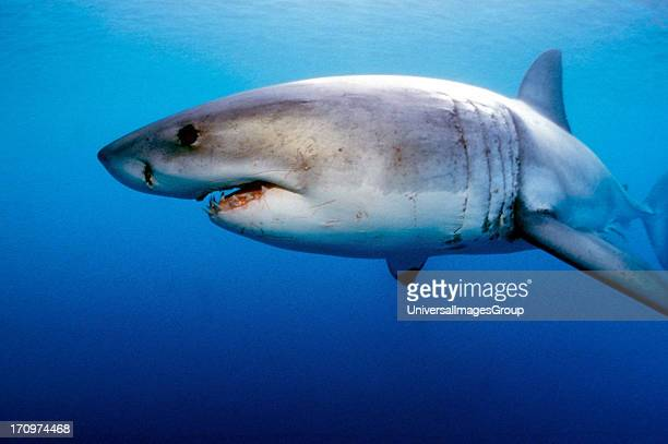 Great White Shark Carcharodon Carcharias swimming underwater