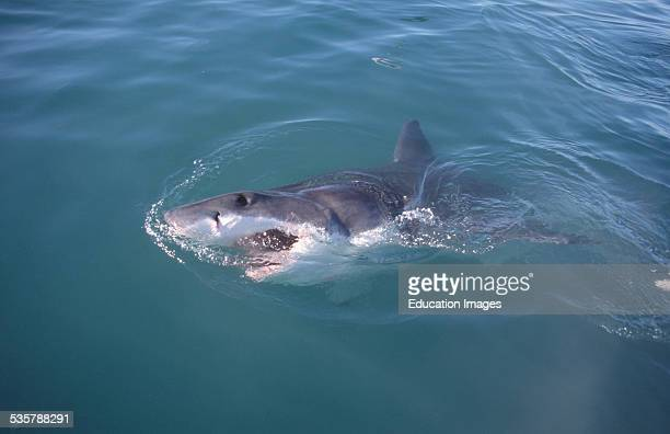 Great White Shark Carcharodon carcharias swims and raises its head above the water six miles off the coast of Gansbaai quite close to Dyer Iceland...