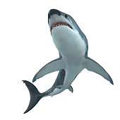 The Great White Shark is the largest predatory shark in the ocean and can grow to 26 feet and can live for 70 years.