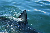 Great white shark (Carcharodon carcharias), dorsal fin above water